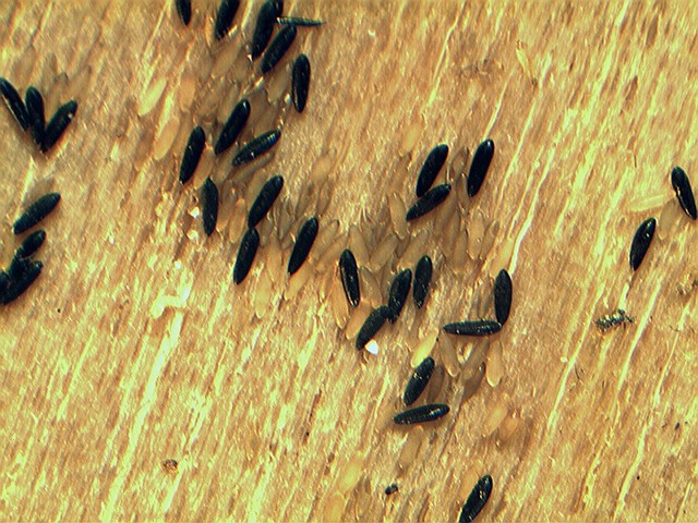 PSYCODA ALTERNATA AND AEDES ALBOPICTUS EGGS